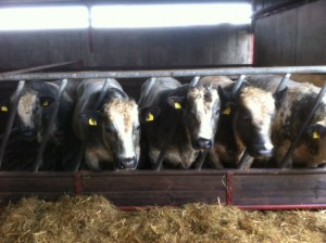 John O'Connells Cattle